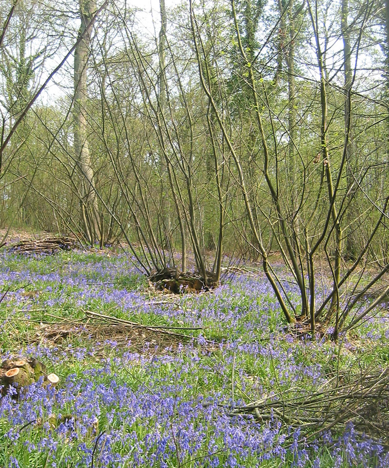 woodland, trees, management, coppice, hazel, wildflowers, biodiversity